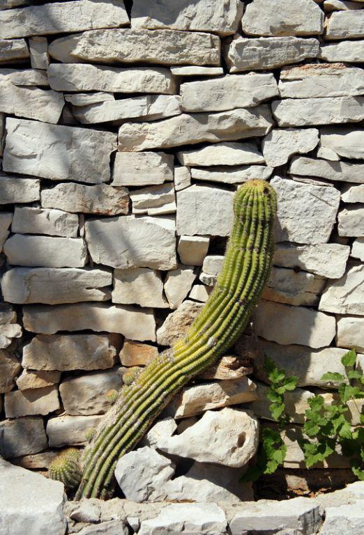kaktus_smoje