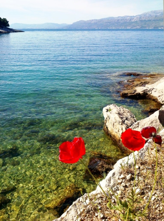 Poppies growing in springtime. One of the many bays on Brač.