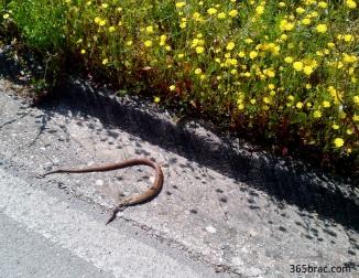 snake_brac_roadkill