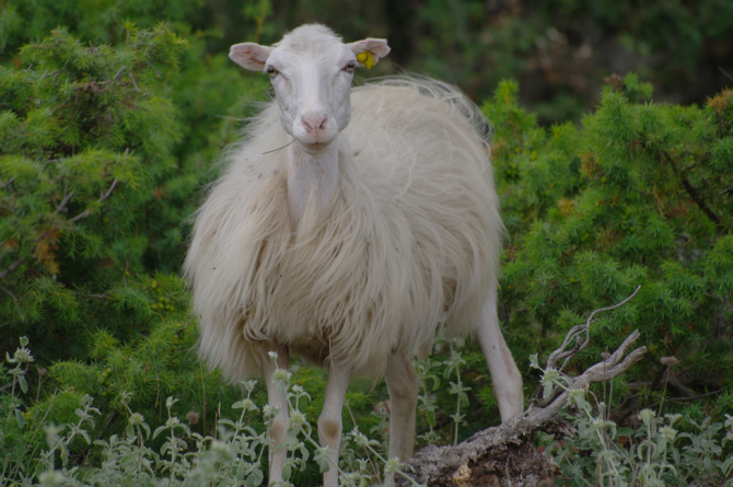 sheep_malcom_brac_vidova-gora