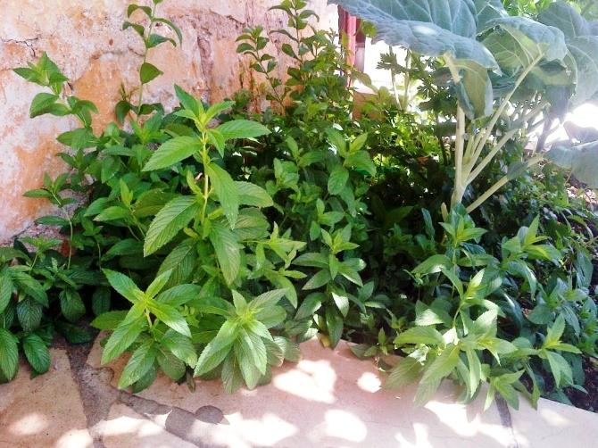mint-bush
