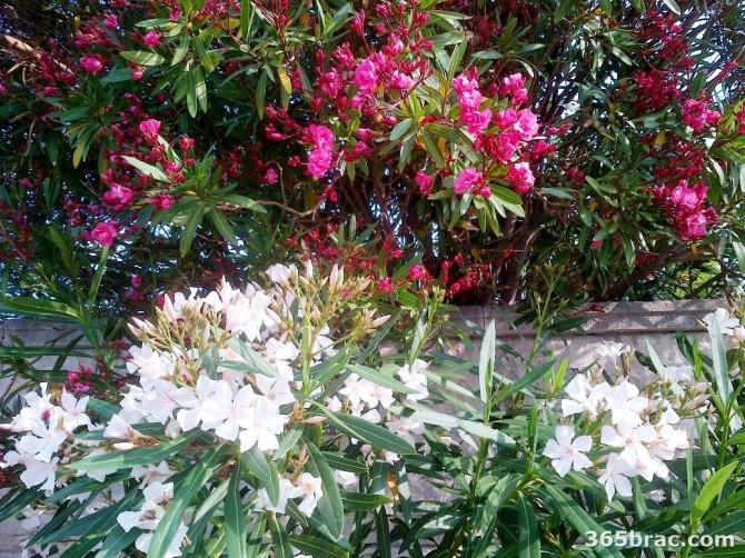 oleander_tree