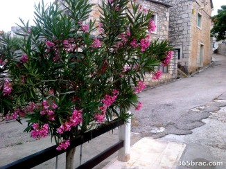 oleander_tree_street