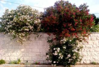 oleander_trees_sumartin