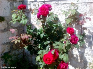 red_roses_stone