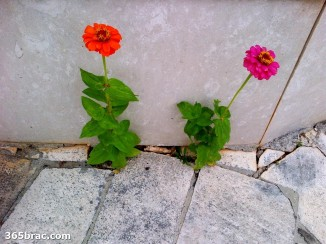 two_flowers_grow_stone